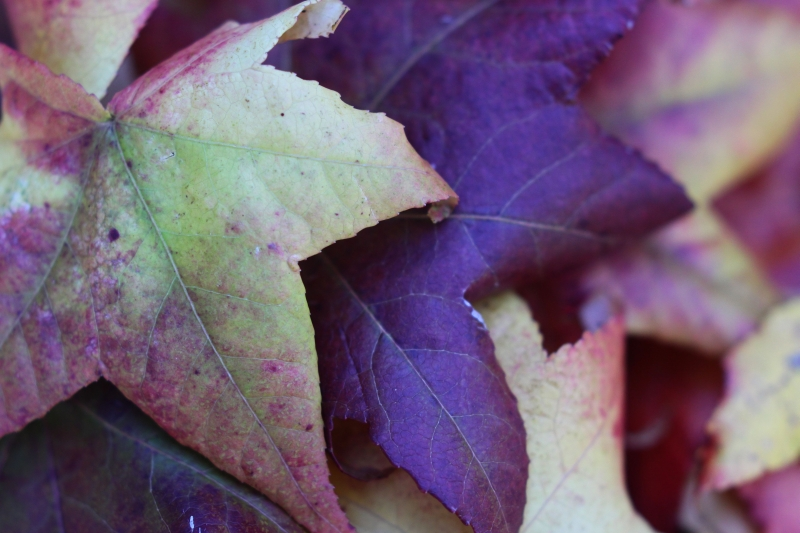 Autumn leaves 2 resized