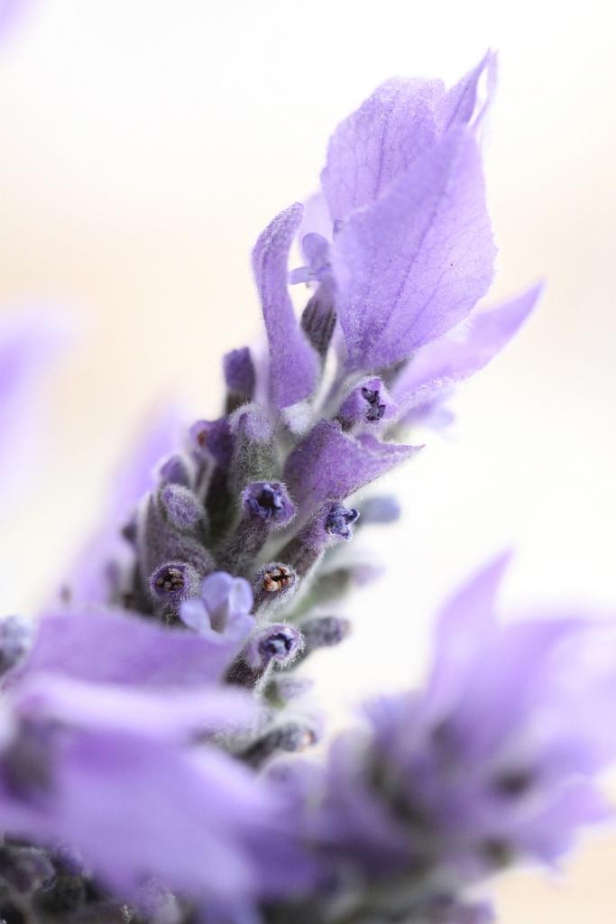 lavendar-shortbread4-resized