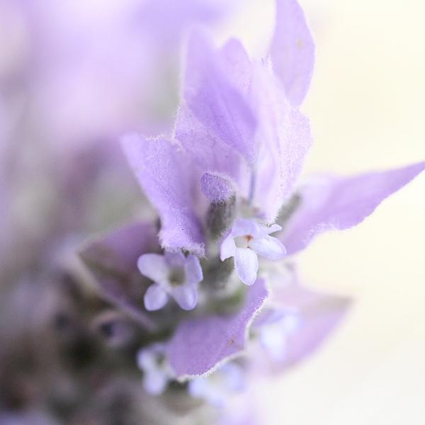 lavendar-shortbread5-square